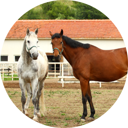 two horse